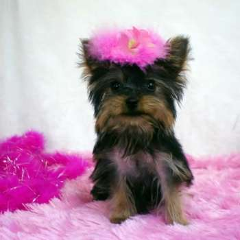 Female Teacup Yorkie Puppy For Sale