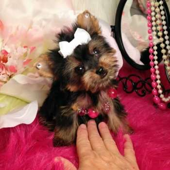 Female Teacup Yorkshire Terrier Puppy For Sale