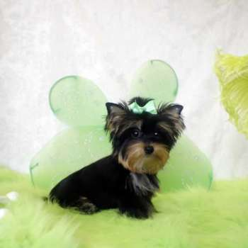 Female Teacup Yorkie Pup For Sale