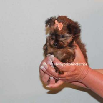 Gold Yorkshire Terrier For Sale
