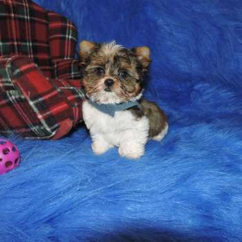 Golden Babydoll Face Parti Yorkie Pup