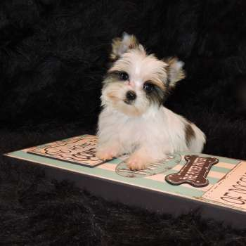 Little Parti Yorkie Male