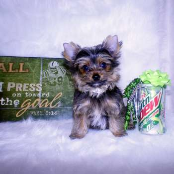 Golden Yorkie For Sale