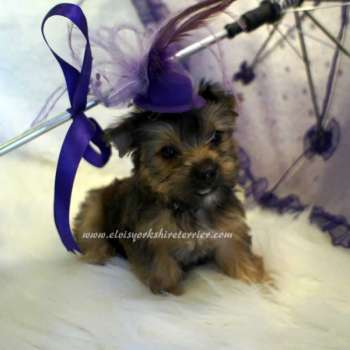 Golden Yorkie Pup For Sale-Alice
