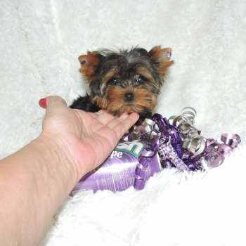 Buy Little Female Yorkie Puppy