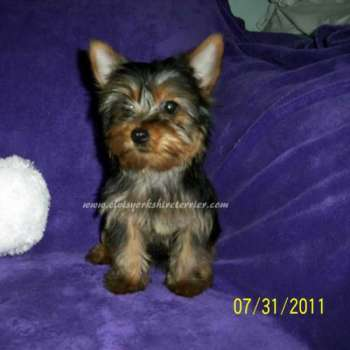 Small Yorkie For Sale
