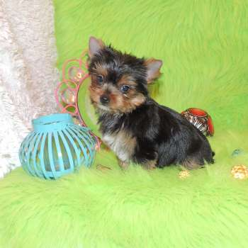 Male Blue And Gold Small Yorkie Puppy