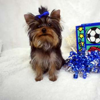 Male Mini Yorkie Pup For Sale