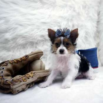Male Parti Yorkie For Sale