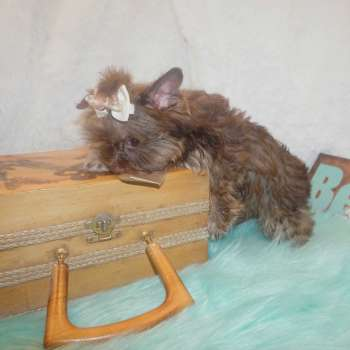 Buy Male Yorkie Puppy