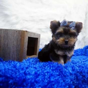 Male Yorkshire Terrier Puppy For Sale