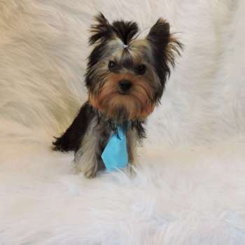 Male Yorkshire Terrier dog For Sale