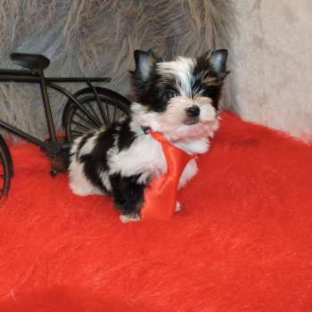 Purchase Male Yorkie Dog