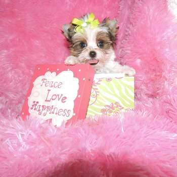 Micro Dollface Yorkshire Terriers For Sale
