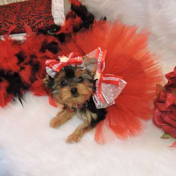 Micro Yorkie For Sale