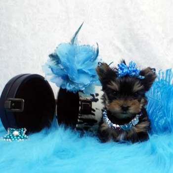 Micro Yorkie Pup For Sale