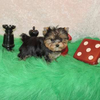 Teacup Yorkie Puppy 10/28/18