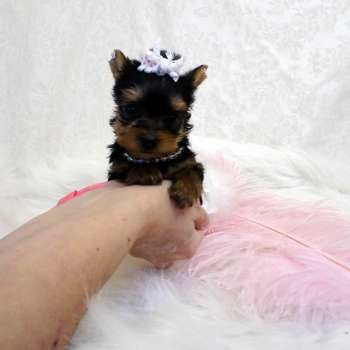 Micro Yorkshire Terrier Pup For Sale