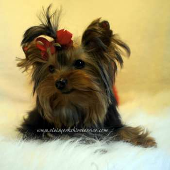 Rita - Micro Yorkshire Terrier Puppy For Sale