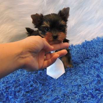 Micro Yorkshire Terrier Puppy