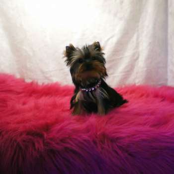 micro teacup yorkshire terrier puppy