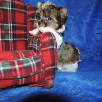 Mini Dollface Yorkshire Terrier