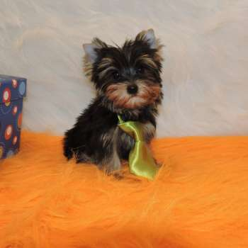 Mini Yorkshire Terrier Pup