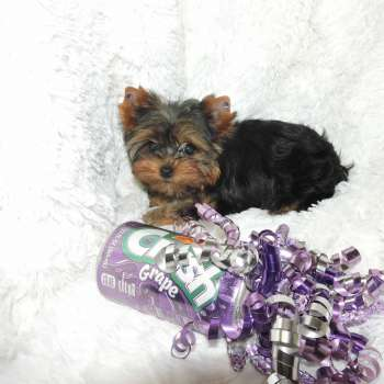 Mini Yorkshire Terrier Pup For Sale 07-09-2017