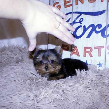 Mini Yorkshire Terrier Puppy For Sale