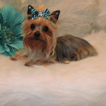 Miniature Yorkie For Sale