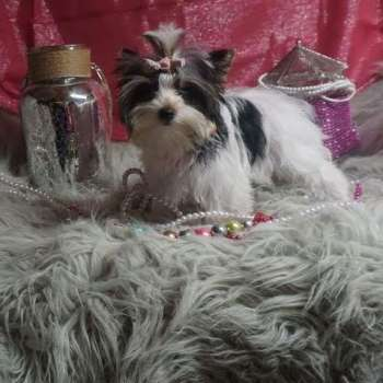 Parti Yorkie For Sale