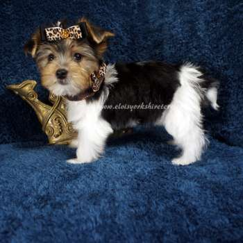 Buy Male AKC Parti Yorkie Puppy - David