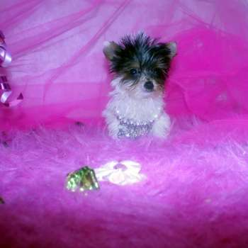 Parti Yorkie Puppy For Sale