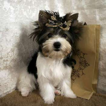 Female Parti Yorkie For Sale - Gracie