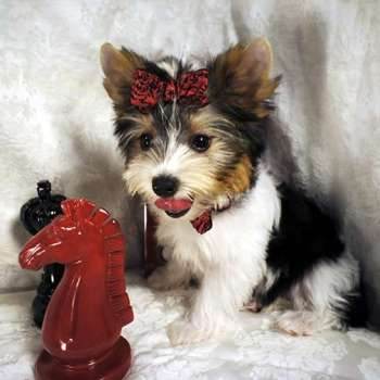 Male AKC Parti Yorkie Puppy For Sale - Tucker