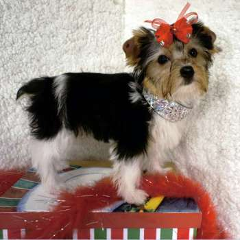 Adopt Female AKC Parti Yorkshire Terrier - Lily
