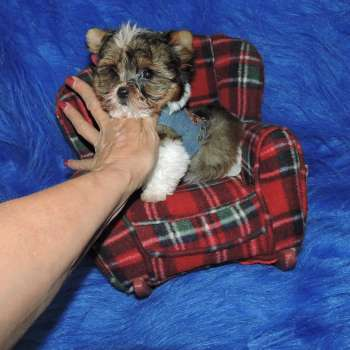 Order Petite Baby Doll Yorkie Pups Austin 07-11-2017