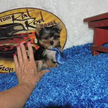 Acquire Pocket Sized Yorkie Doggie