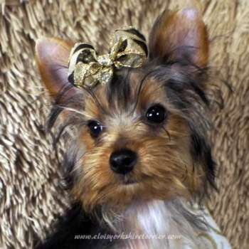 T-Cup Yorkie