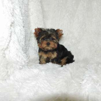 yorkshire terrier colors blue gold blue and gold colored traditional yorkies for sale elvis 8342