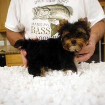 Small Male Yorkie Pup For Sale