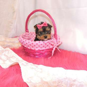 Small Yorkie Pup