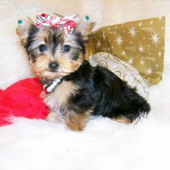 Small Yorkie Pup - Amyjo