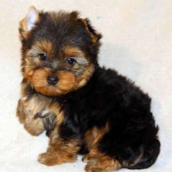 Small Yorkie Puppy For Sale