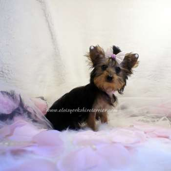 Small Yorkie Puppy For Adoption - Kathy