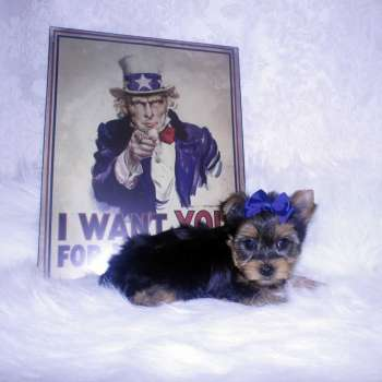 Small Yorkie Pup For Sale