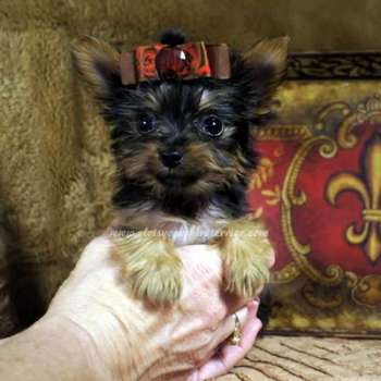 Tea Cup Yorkie for sale