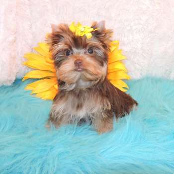 Teacup Chocolate Yorkie Puppy