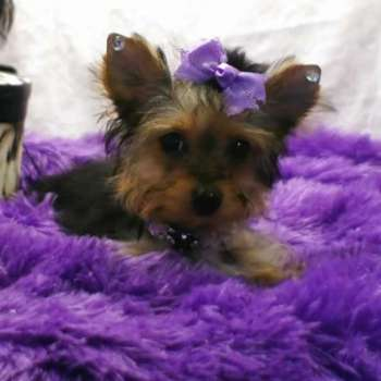 Teacup Yorkshire Terrier For Sale