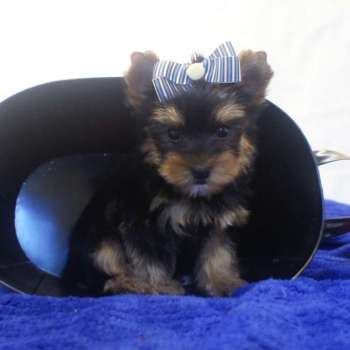 Teacup Yorkshire Terrier Pup For Sale